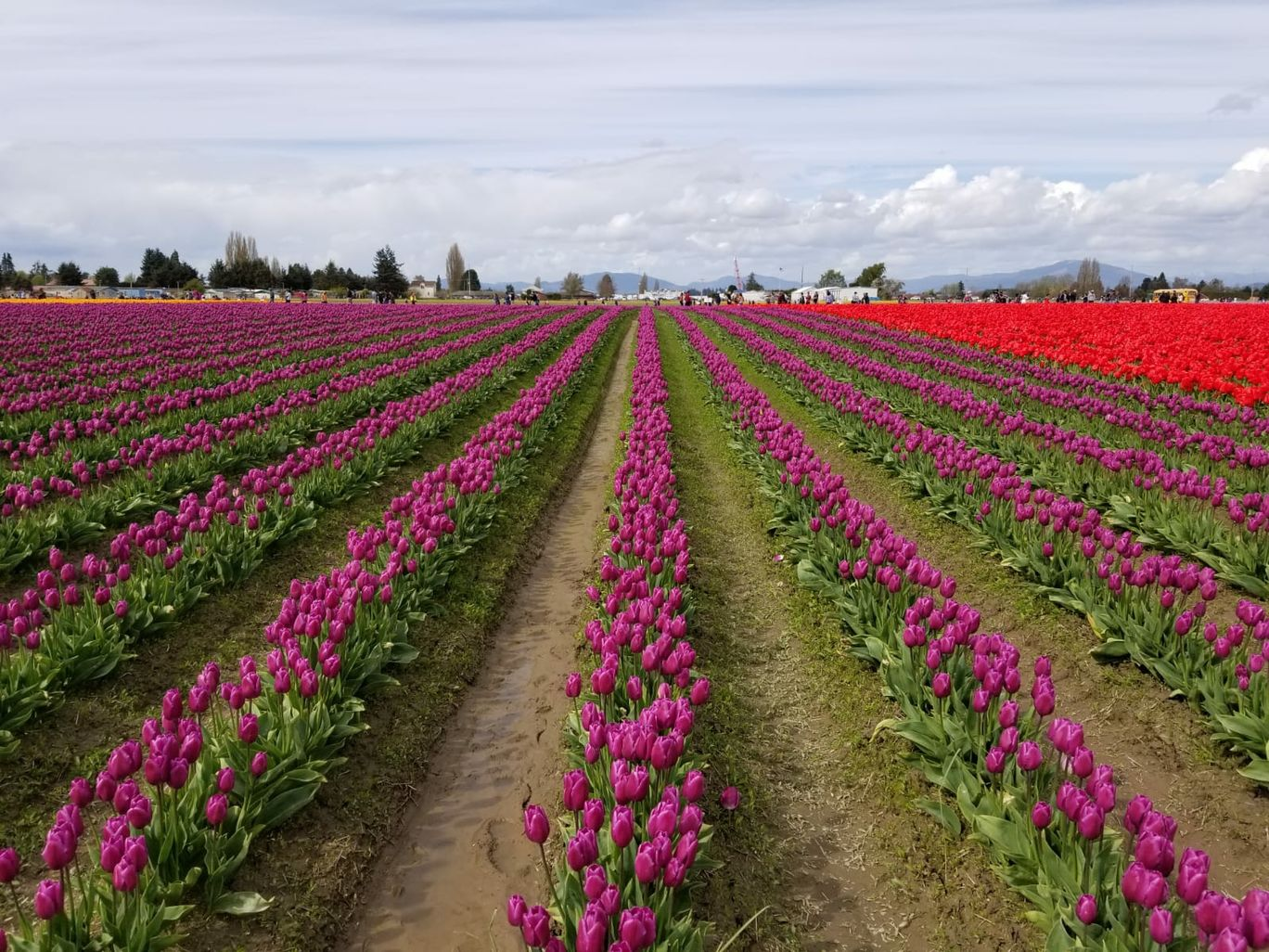Photo of Tulip Fields By Shraddha Subramanian