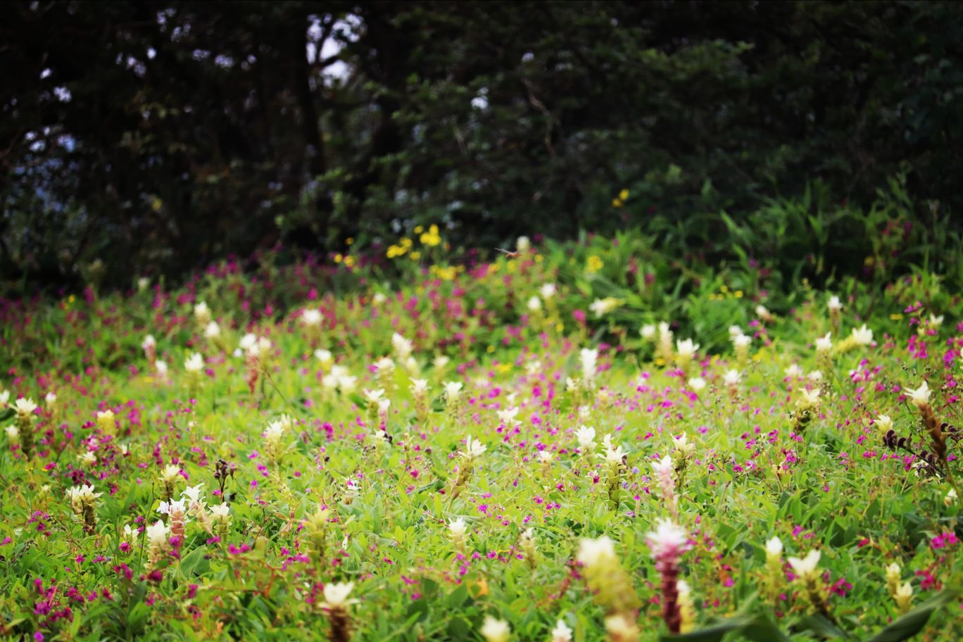 Photo of Kaas Plateau of Flowers By Pradnya Shende