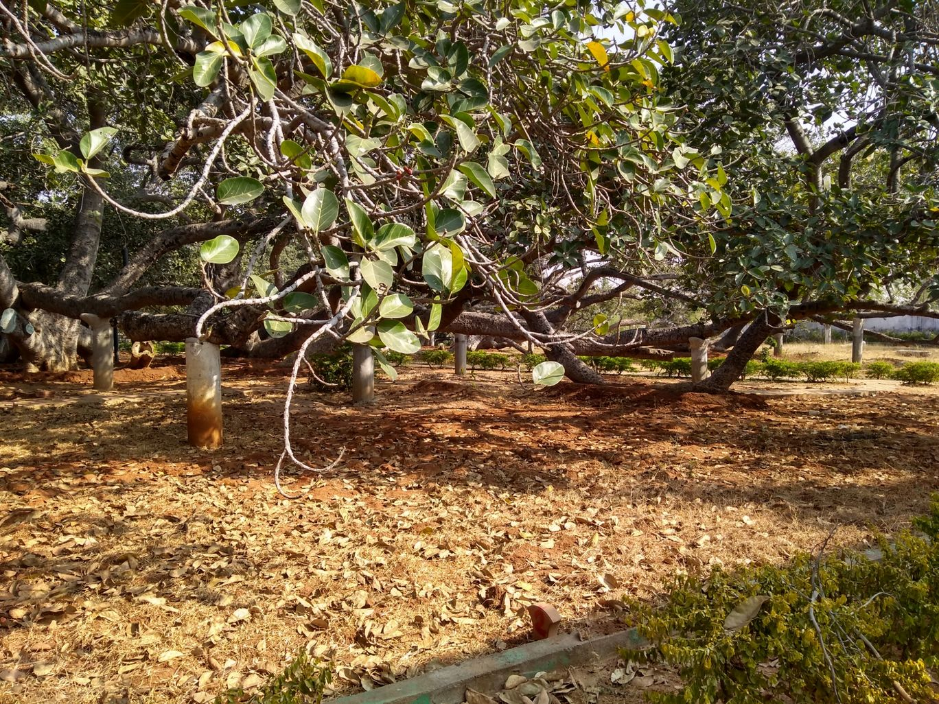 Photo of Pillala Marri Giant Banyan Tree By Sandeep Kumar Chanda