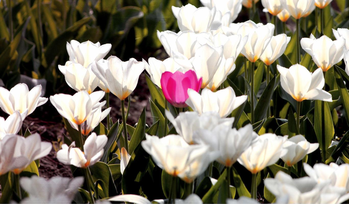 Photo of Tulip Garden By Mehak