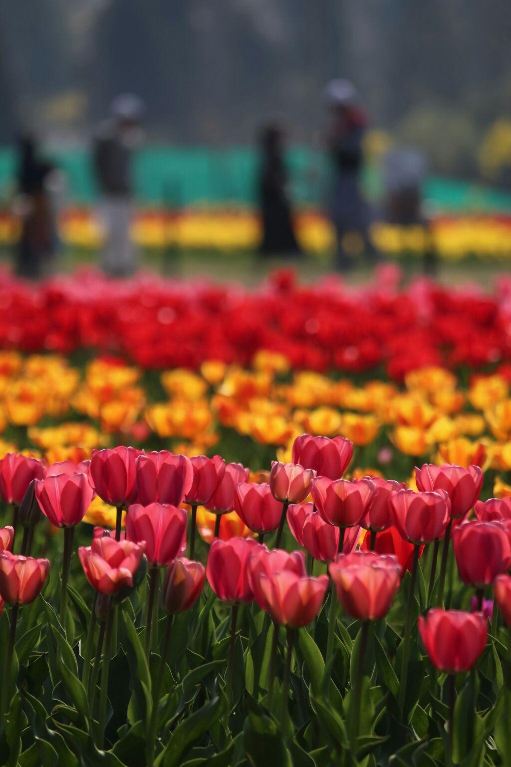 Photo of Tulip Garden By Xaid Zahoor