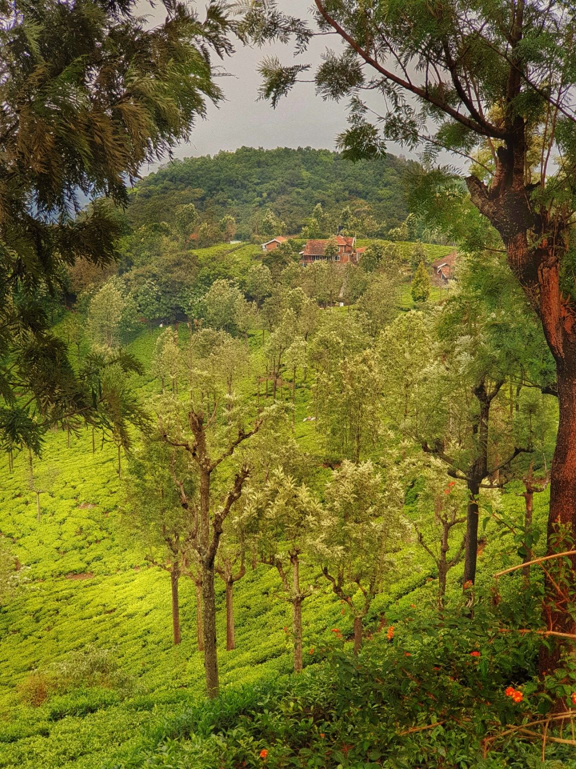 Photo of Coonoor Tea Estate By Avijit Sharma