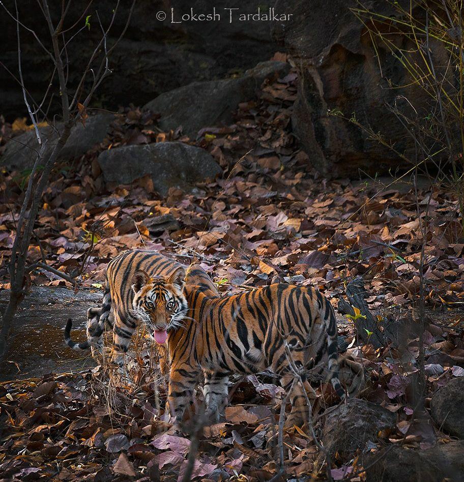 Photo of Bandhavgarh National Park By Lokesh Tardalkar