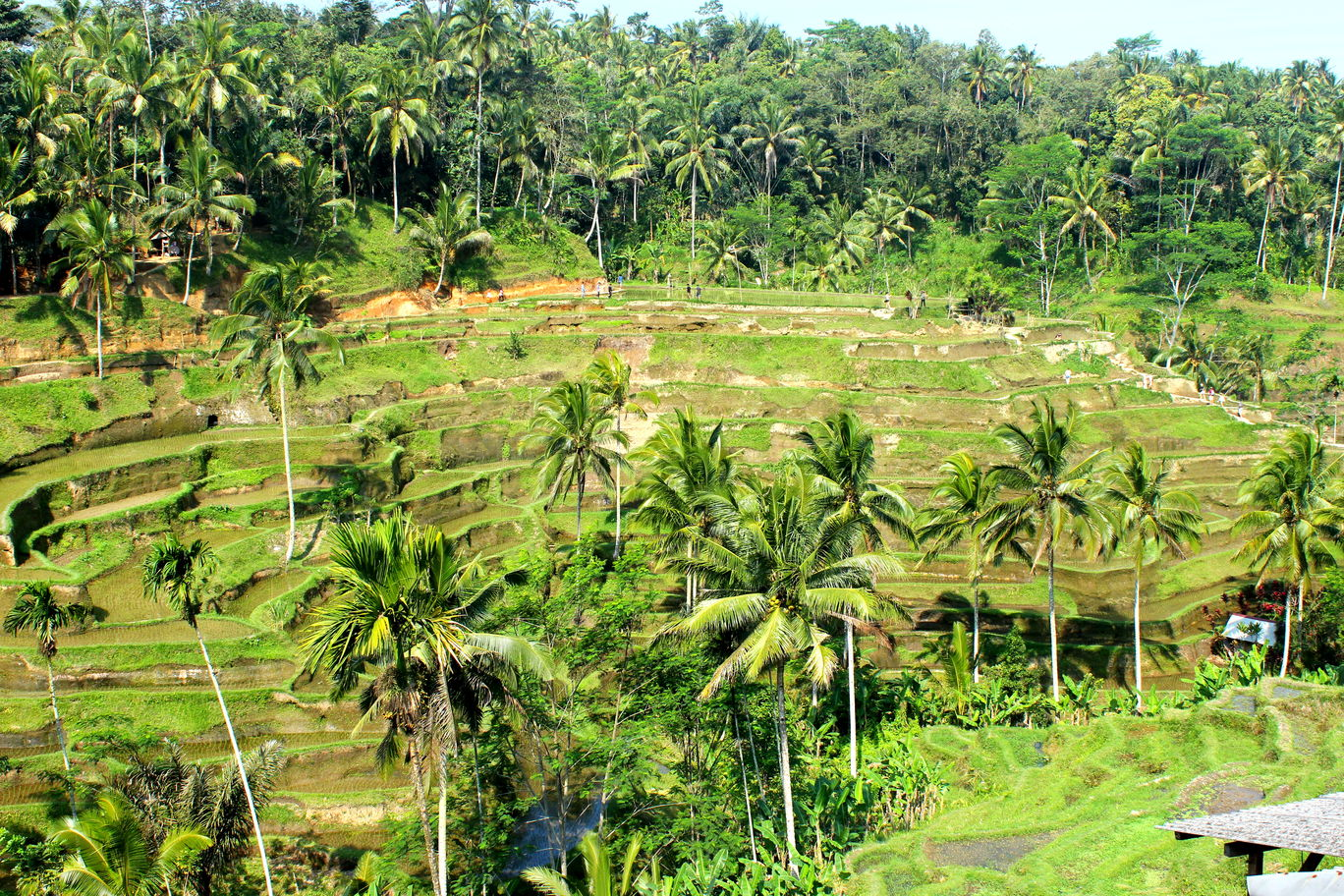 Photo of Tegallalang Rice Terrace By tamanna tripathy