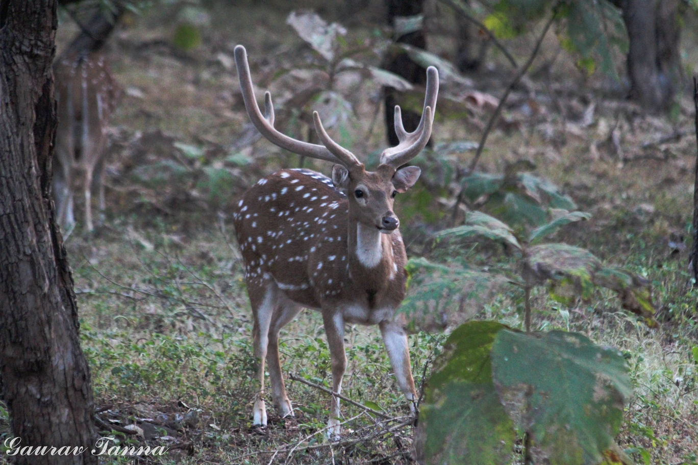 Photo of Visit To The King Of Jungle - Gir Forest By Gaurav Tanna