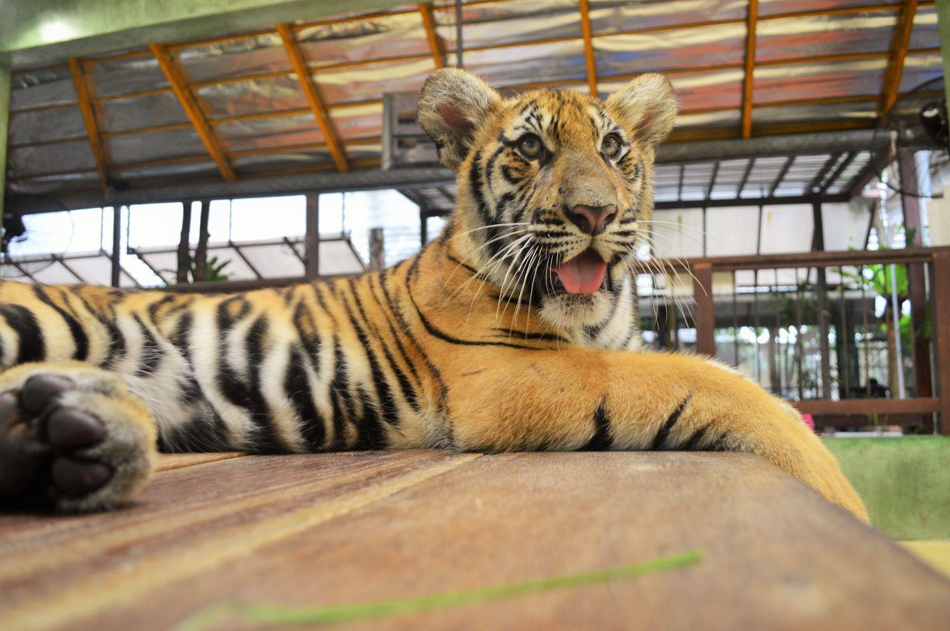 Photo of Tiger Kingdom Phuket By Khushboo Bhambri