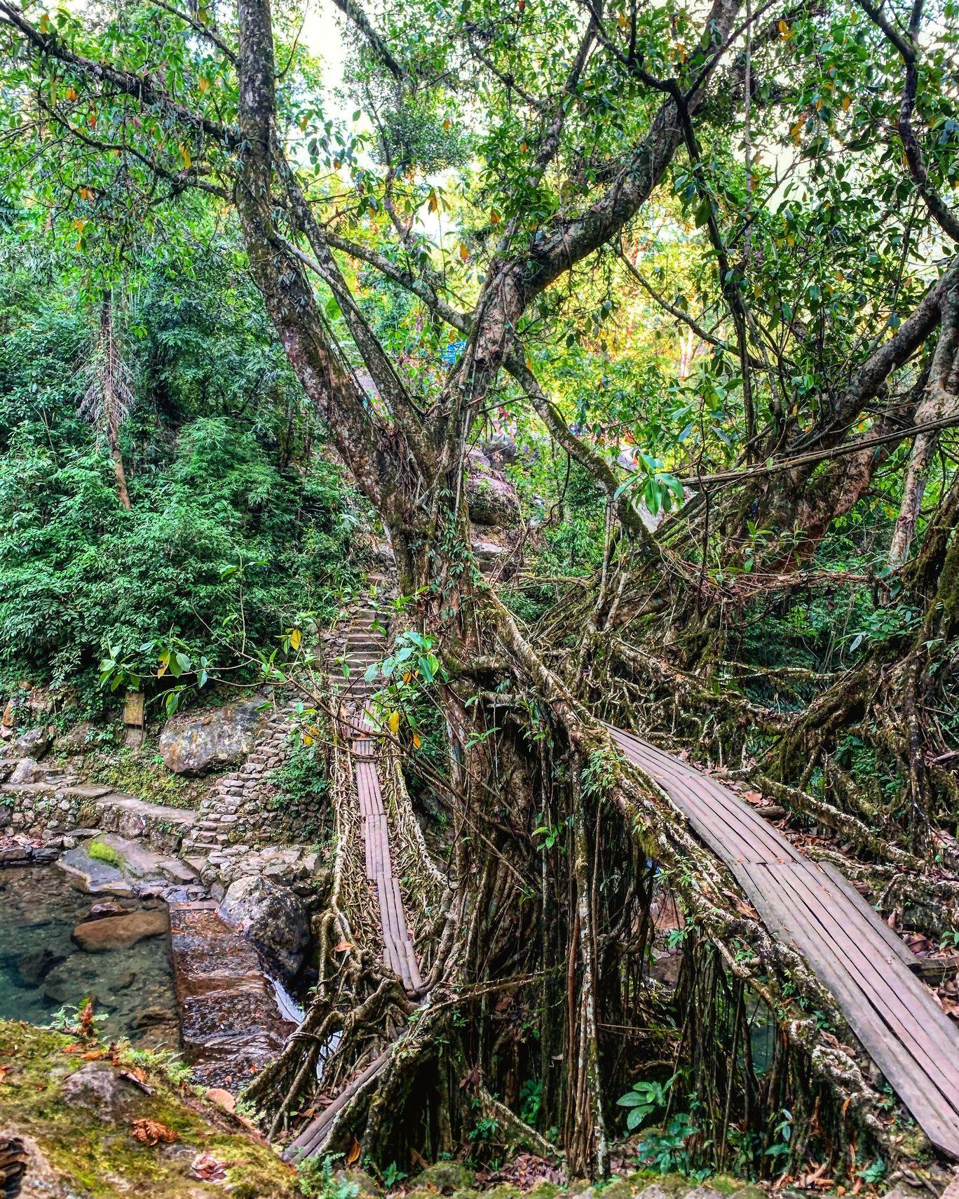 Photo of Double Decker Living Root Bridge By Apeksha Sharma
