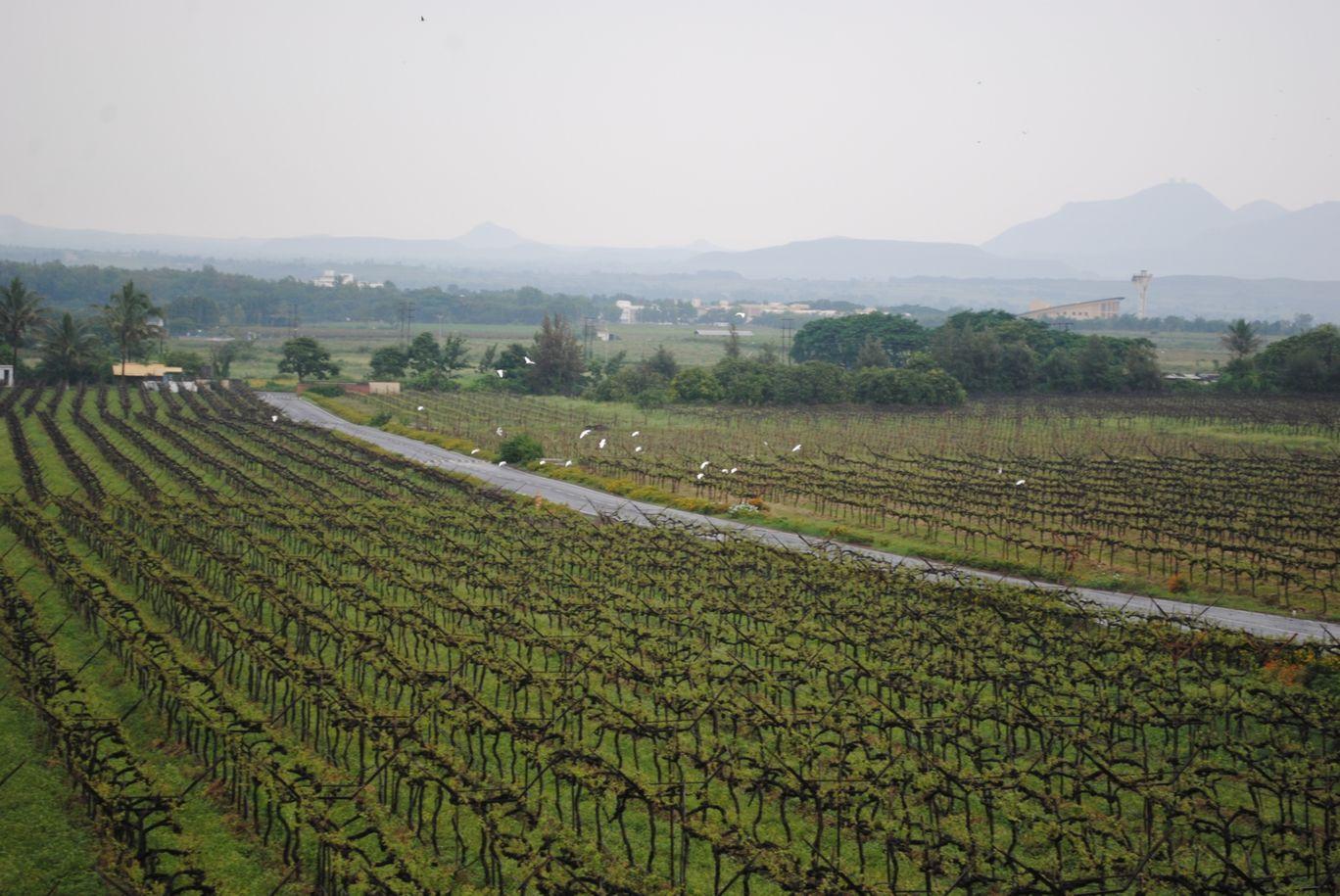Photo of Sula Vineyards By Gypsytipsytoes