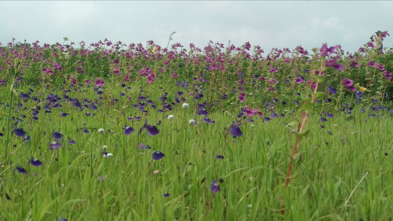 Photo of Kaas Plateau of Flowers By parv Jain