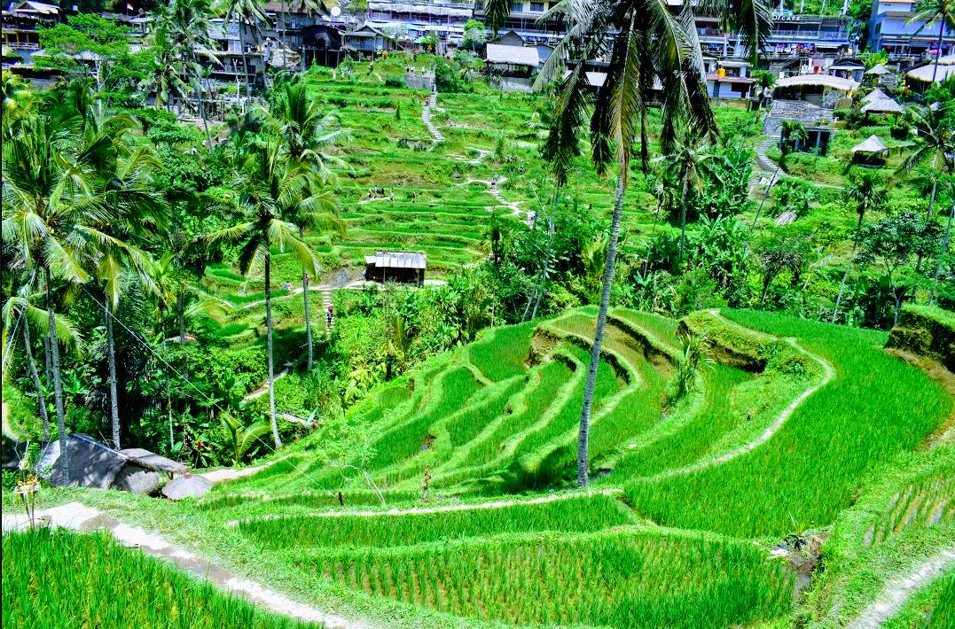 Photo of Tegallalang Rice Terrace By Ajita Mahajan