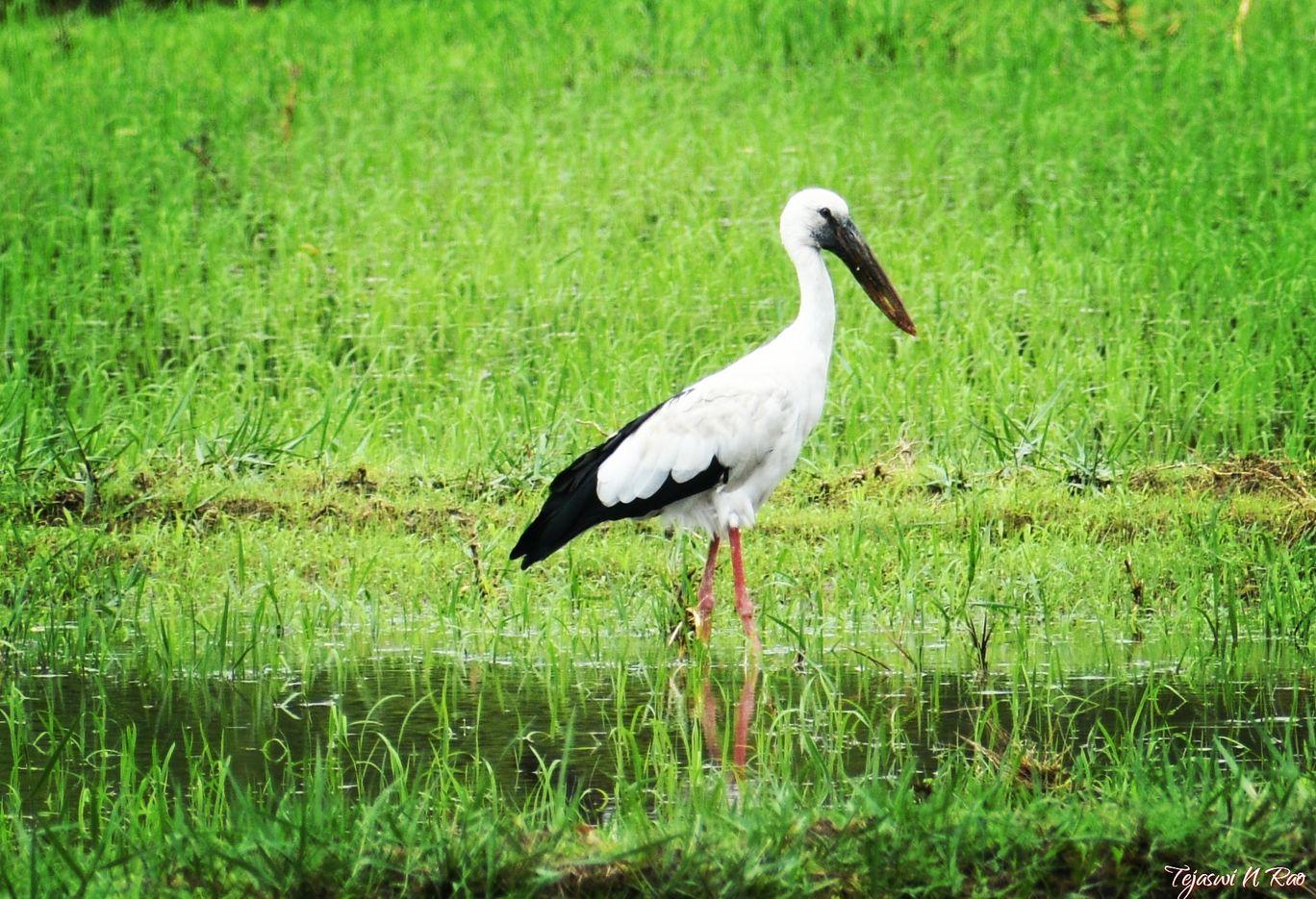Photo of Ranganathittu Bird Sanctuary By Tejaswi N Rao