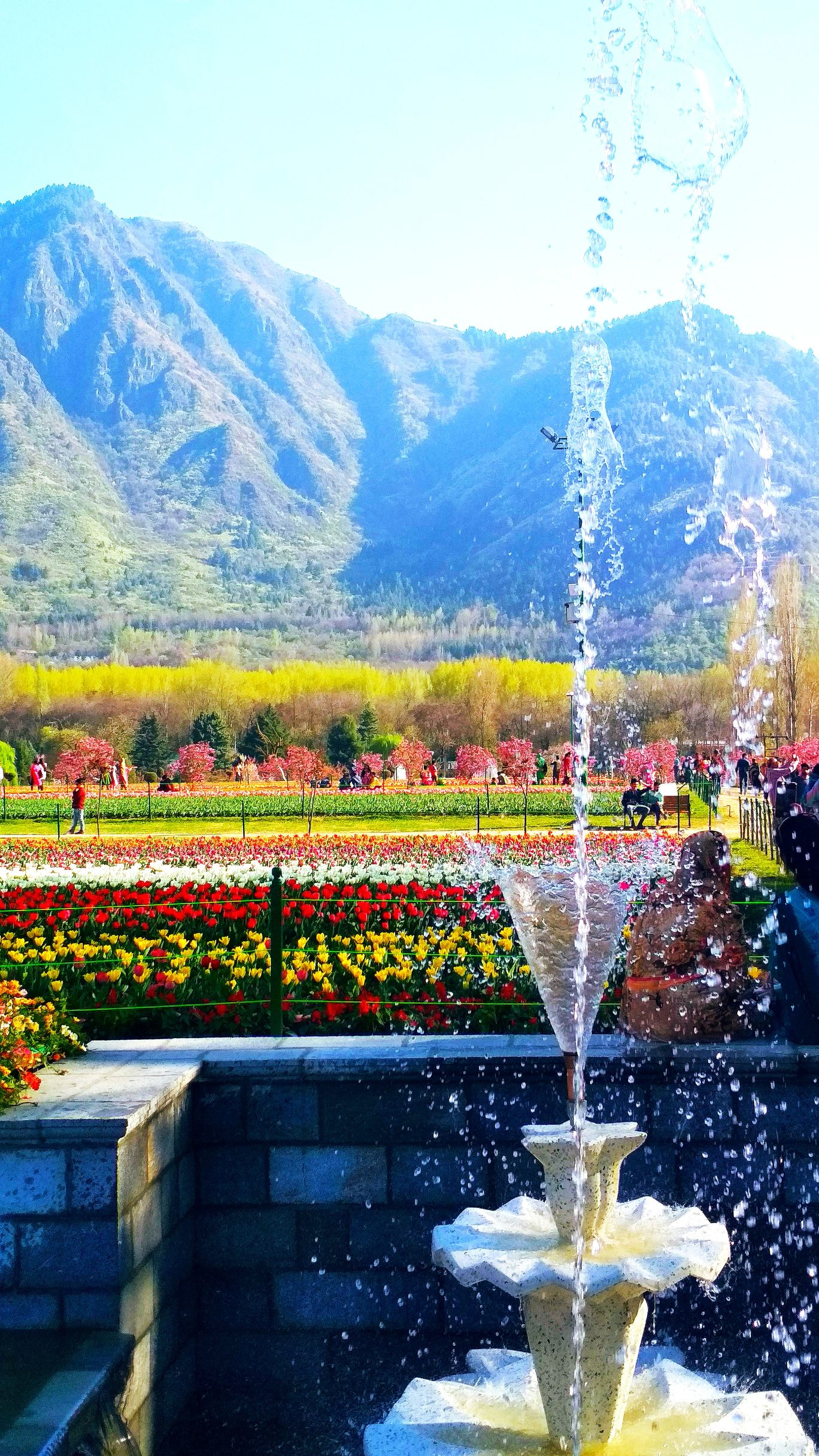 Photo of Tulip Garden By kanchan bhat