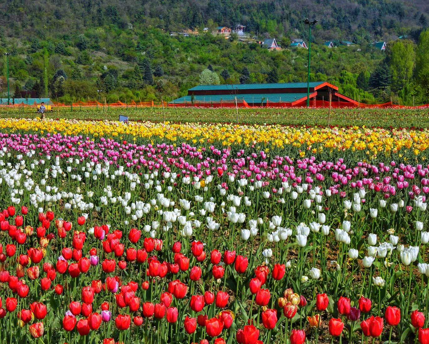 Photo of Tulip Garden By Khushboo