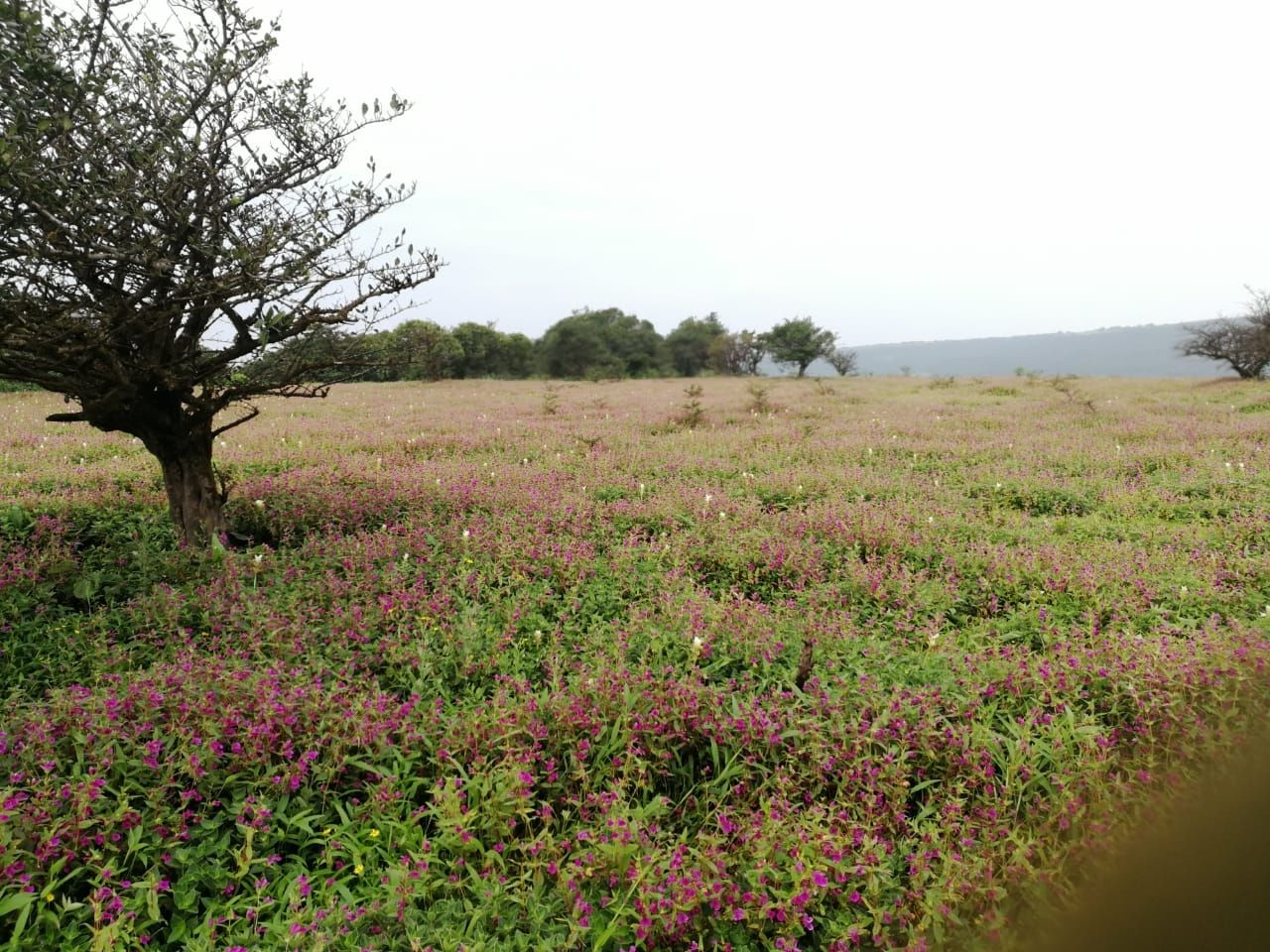 Photo of Kaas Plateau of Flowers By Priyanka Prasad