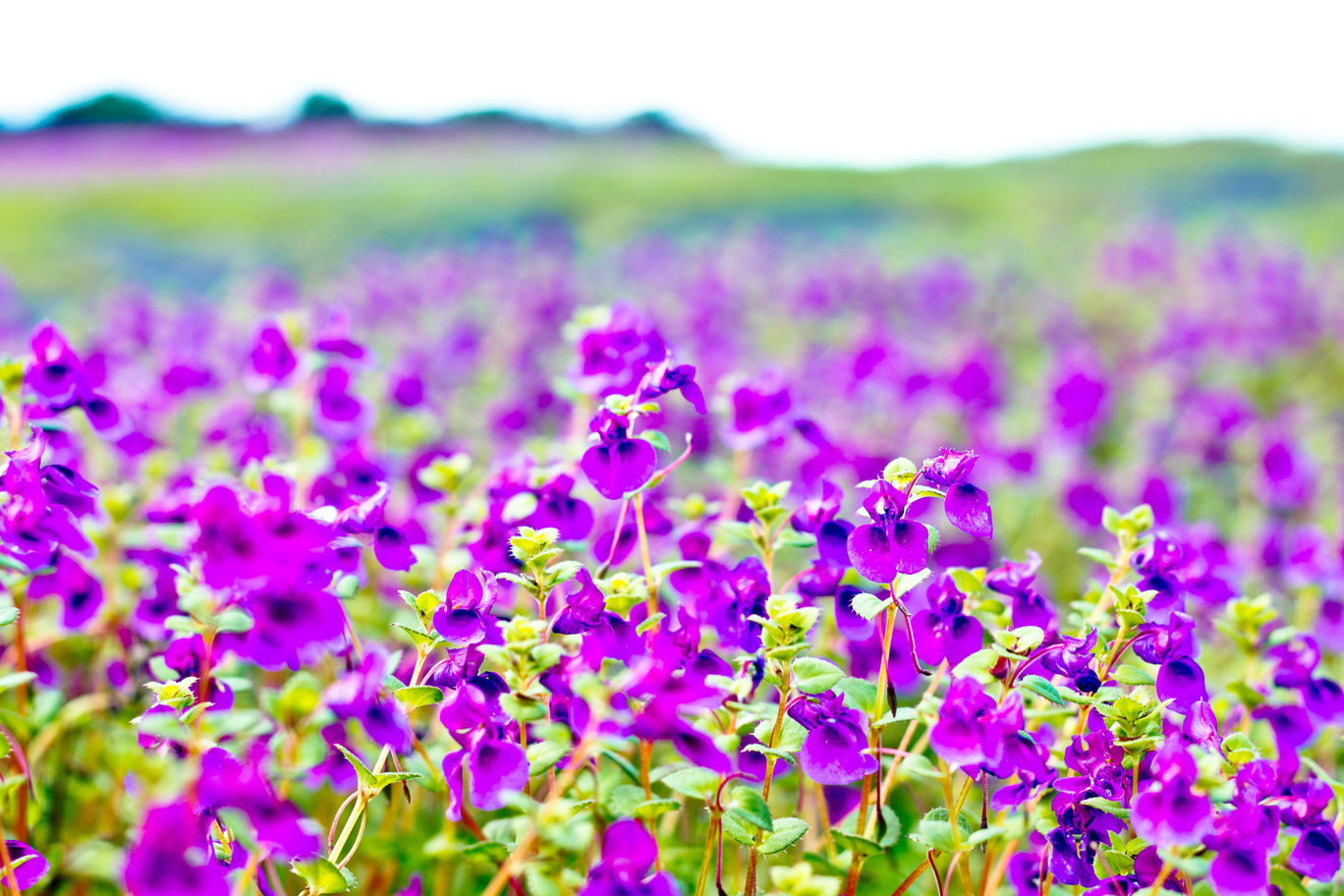 Photo of Kaas Plateau of Flowers By Rajdeep Mondal
