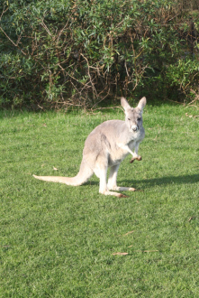 Feeding kangaroos in Melbourne