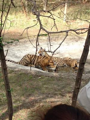 Sighting tigers at Ranthambore