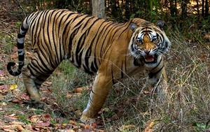 Big Cats of Bandhavgarh