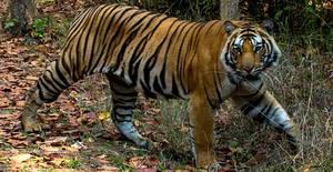 Big Cats of Bandhavgarh