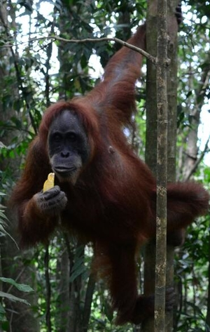 The Apes and the Humans of Sumatra