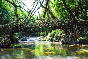 Love affair of two banyan trees: The Living Root bridge, Mawlynnong