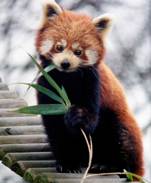 Where To See The Mysterious Red Panda In India