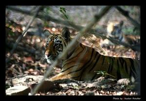 Land of tigers: Tadoba National Park