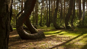 The mystery of the Crooked Forest in Poland