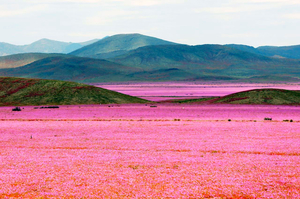 The Driest Place on Earth Has Now Transformed Into a Glorious Bed of Flowers