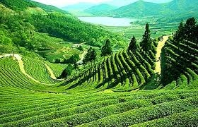 The Tea Gardens, Toy Train and Other Things to do in Darjeeling (3D/2N)