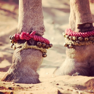 Of Camels, Colors and Holy Dips: Pushkar Mela