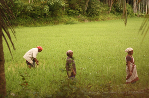 Of Paddy Fields, Bugs And Random Walks