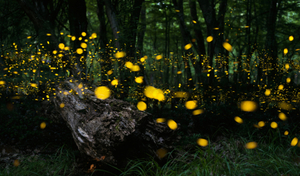 Fireflies trail-Purushwadi