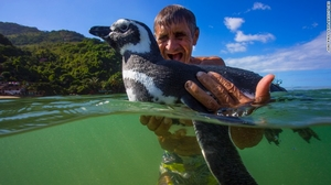 A Magellanic Penguin named Dindim travels 5000 miles every year to meet his best buddy
