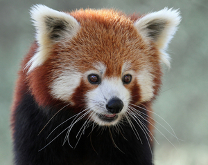 Red Panda Expedition at Singalila National Park