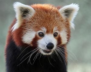 Red Panda Expedition at Singalila National Park