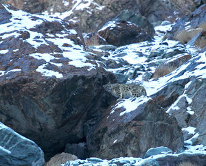 Snow Leopard Quest, Ladakh