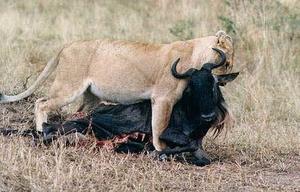 Mara Bestway – 3 Days Masai Mara National Reserve