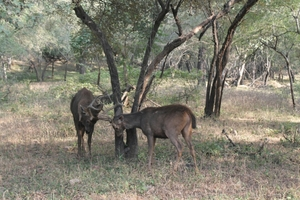 No luck with Big cats Ranthambore memories
