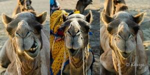 A Camel Affair