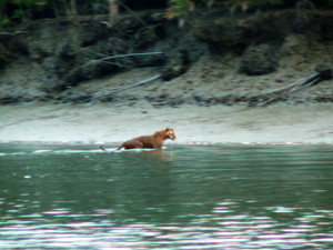 The swimming tiger of Sunderbans