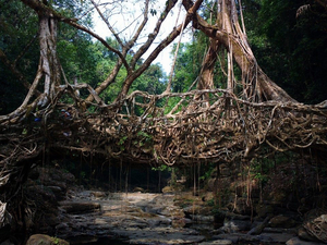 Living Root Bridge, Meghalaya