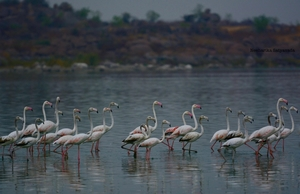 Flamingoes in Hyderabad!