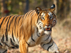 Shooting Tigers: The Best Places in India to Spot a Tiger