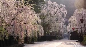 The beautiful sakura blossoms of Japan