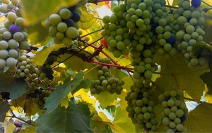 A Vineyard Visit and Wine Tour in Bangalore