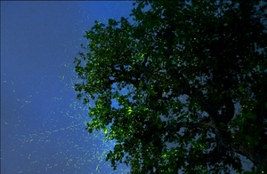 And then we watched the 'dance of the fireflies'