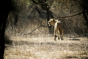 A Hidden Wanderer found in Gir