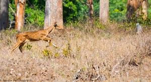 Pride of South India - Mudumalai And Bandipur
