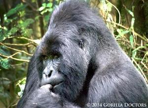1 Day gorilla trek-Rwanda